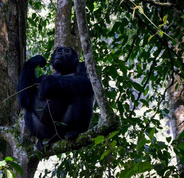 gorilla 4_621x600